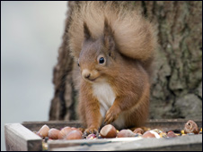 _45460344_red_squirrel_226