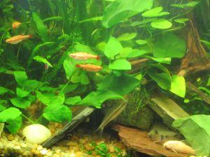 algae eater
