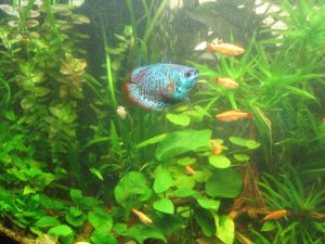 better gourami